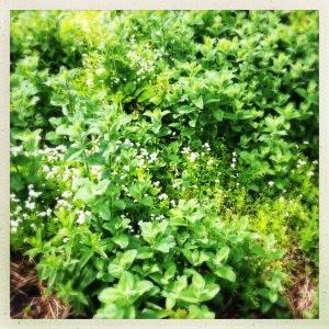 Mint_garden